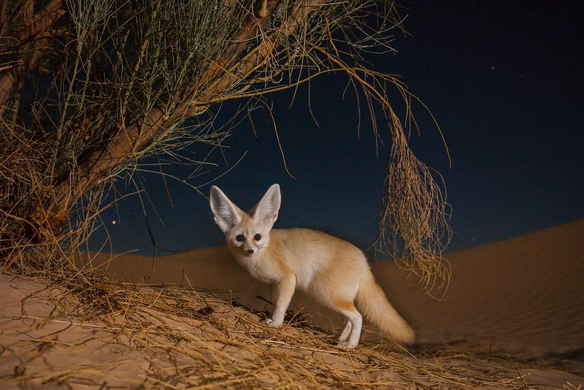 Ein Fennek gräbt nachts in der tunesischen Wüste unter einem Strauch nach Beute. Fenneks oder Wüstenfüchse ...