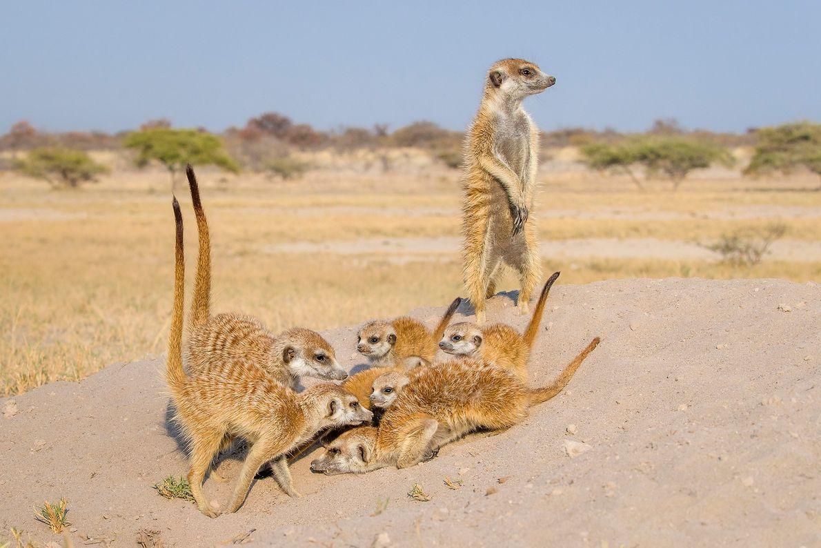 In der Kalahari in Botswana sitzt eine Gruppe Erdmännchen auf einem Erdhügel. Erdmännchen sind enorm sozial ...