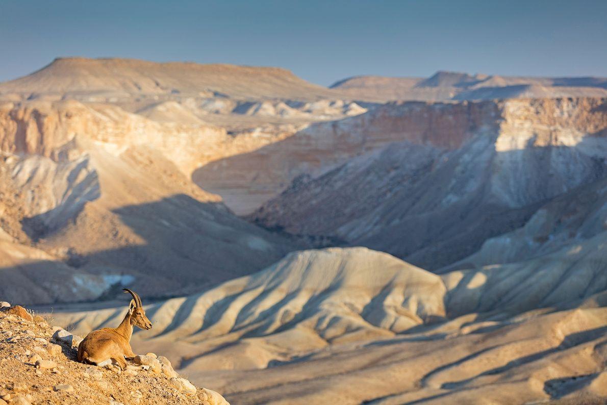 Ein Syrischer Steinbock ruht sich auf einem Berg im Süden Israels aus. Die Wüstentiere, die in ...