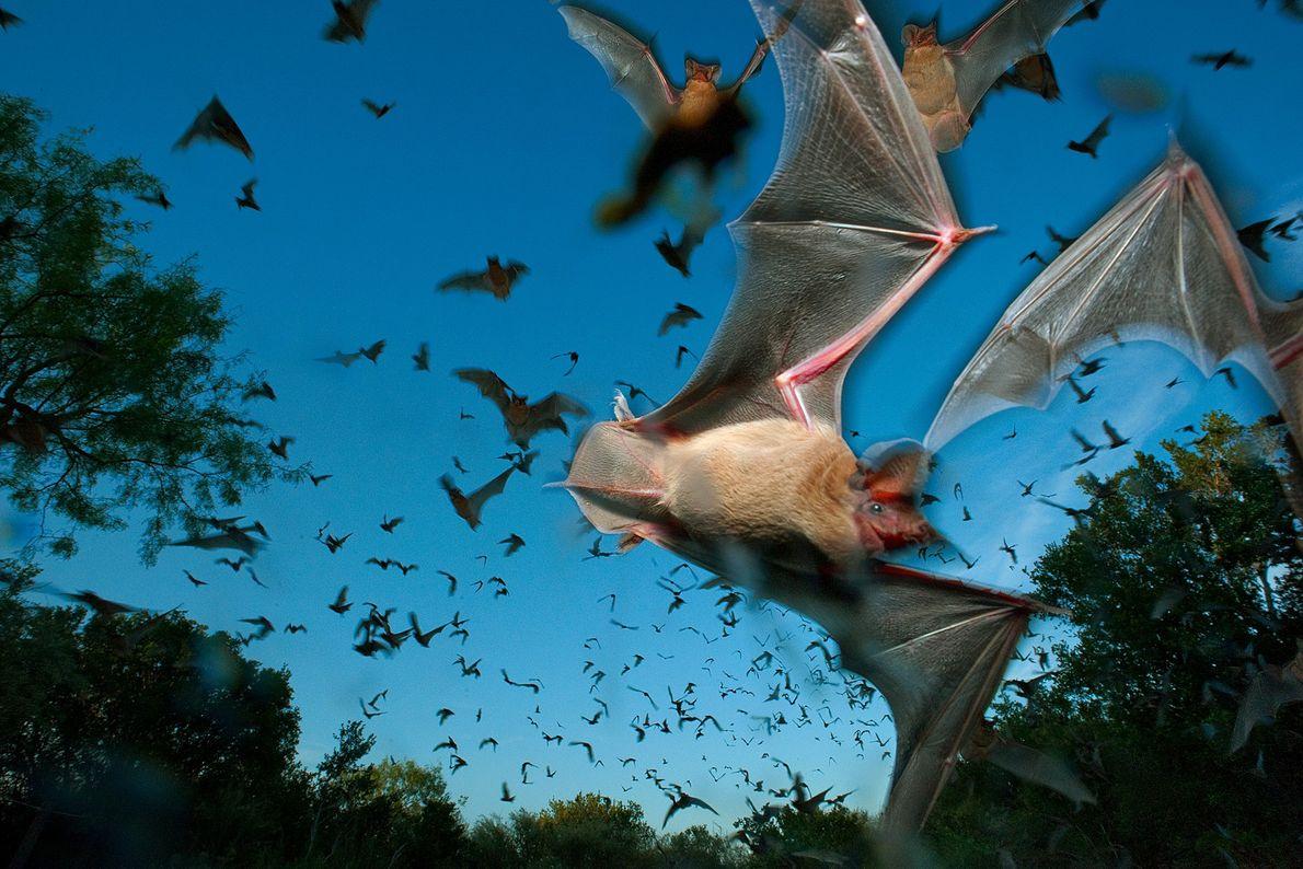 Mexikanische Bulldoggfledermäuse schwärmen in einem Schutzgebiet im texanischen Hügelland über den Himmel. Obwohl diese Fledermausart in ...