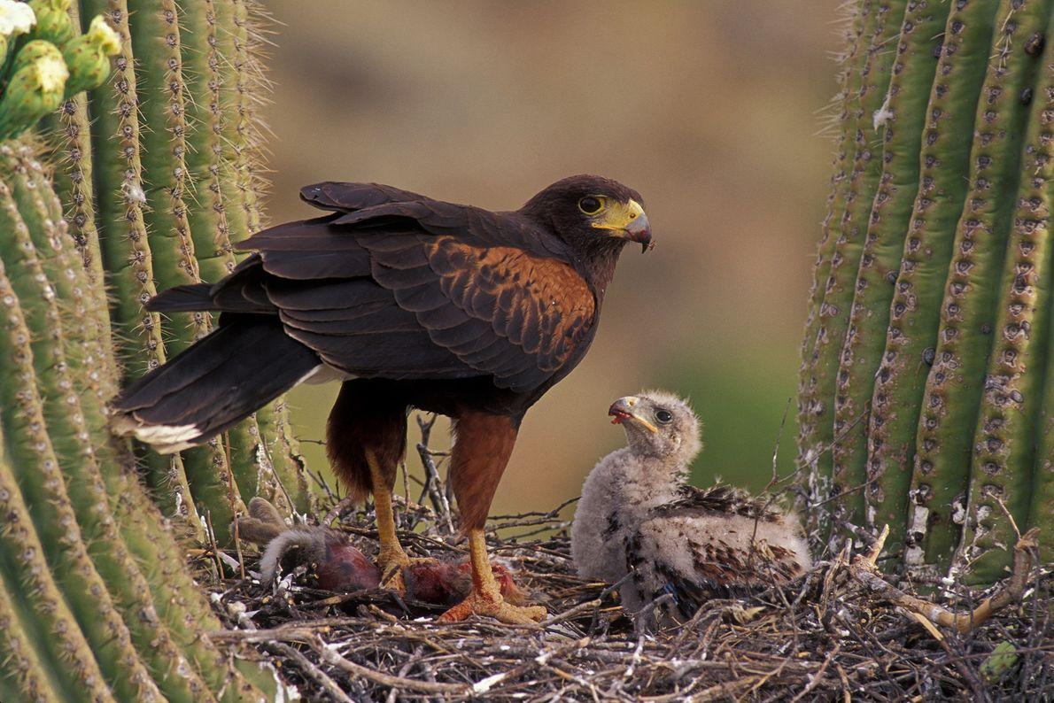 Ein Wüstenbussard füttert sein Küken auf einem Saguaro-Kaktus in der Wüste von Arizona. Die Raubvögel sind ...