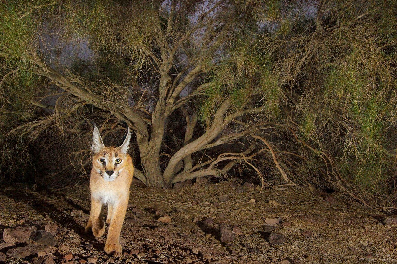 Eine Kamerafalle machte dieses Foto eines Karakals im Kavir-Nationalpark. Die Tiere sind für gewöhnlich nachtaktiv und ...