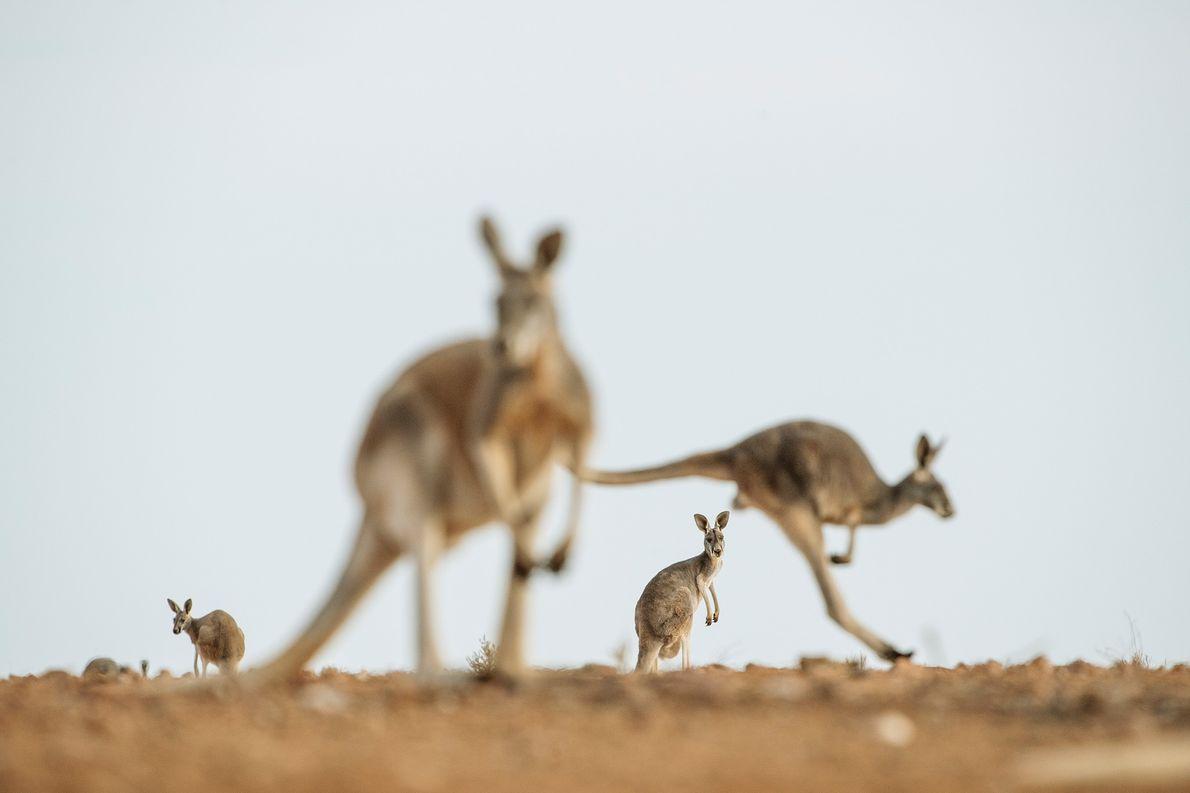 Rote Riesenkängurus, die größte Känguruart, leben in den weiten Wüstengebieten Australiens. Sie nutzen das von ihnen ...