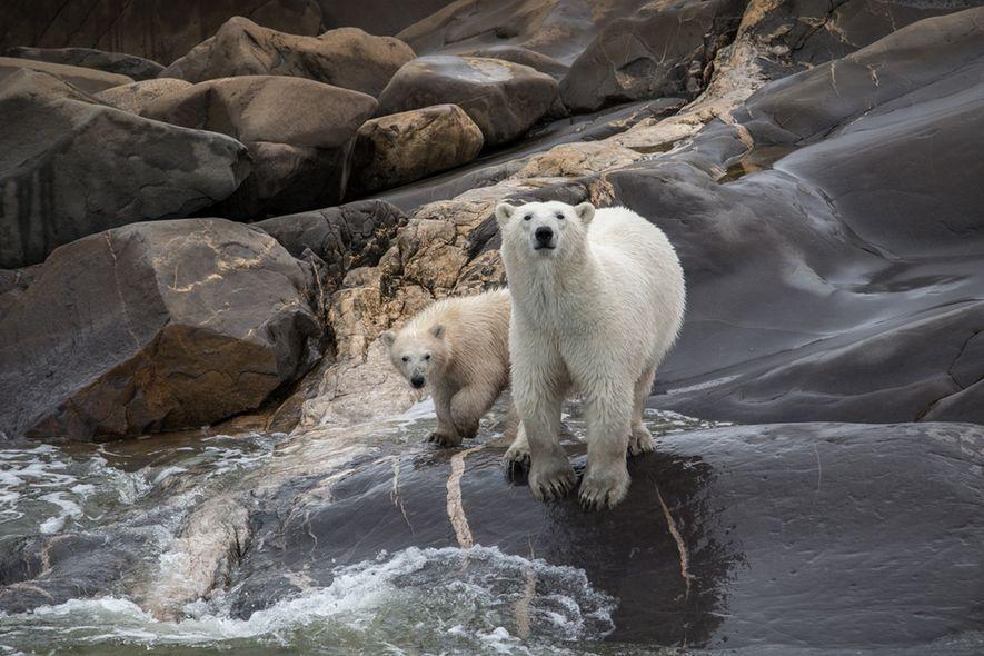 Der kleine Ort Churchill in Manitoba ist die Welthauptstadt der Eisbären. Im Herbst können Besucher die ...