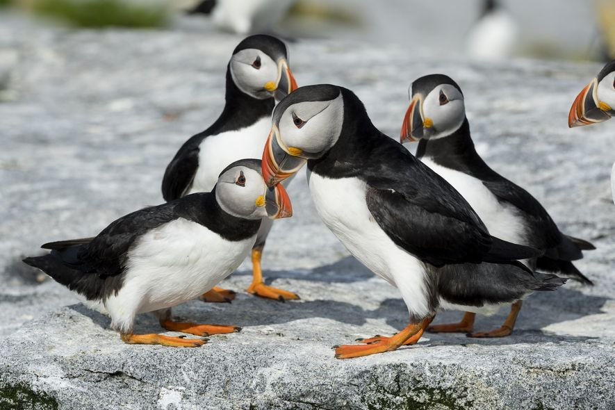 Die niedlichen Papageitaucher zeigen sich auf Neufundland vielerorts. Besucher können sie oft zu Hunderten in ihren ...