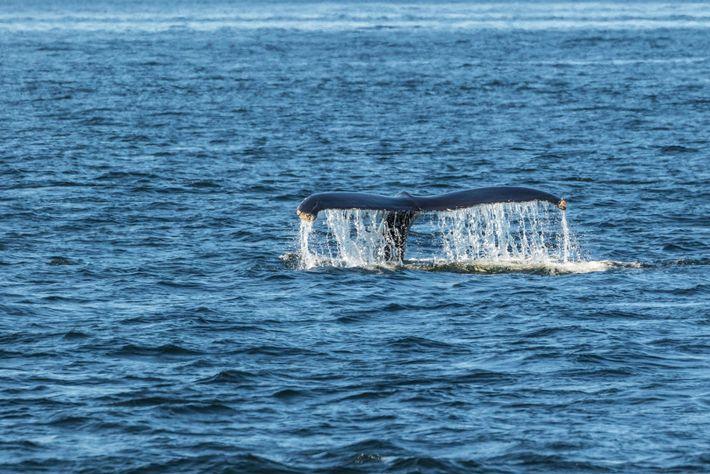 Im Sankt-Lorenz-Strom zeigt ein Buckelwal seine Flosse.