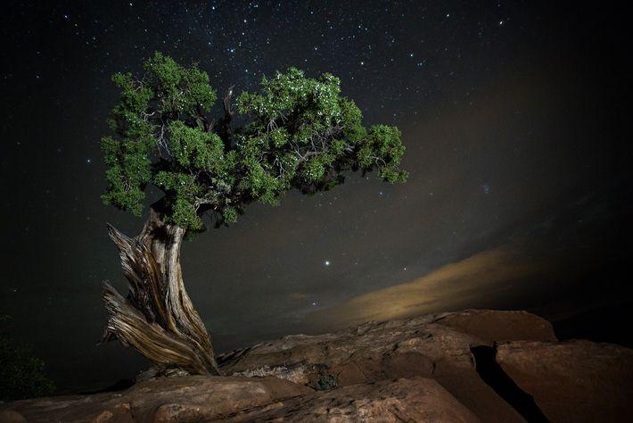 Ein Wacholderbaum krümmt sich auf einem Hügel im Dead Horse Point State Park in Utah, USA.