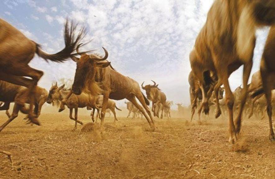Zehntausende von Gnus machen sich im Spätsommer von Kenia aus auf den langen Weg nach Süden …