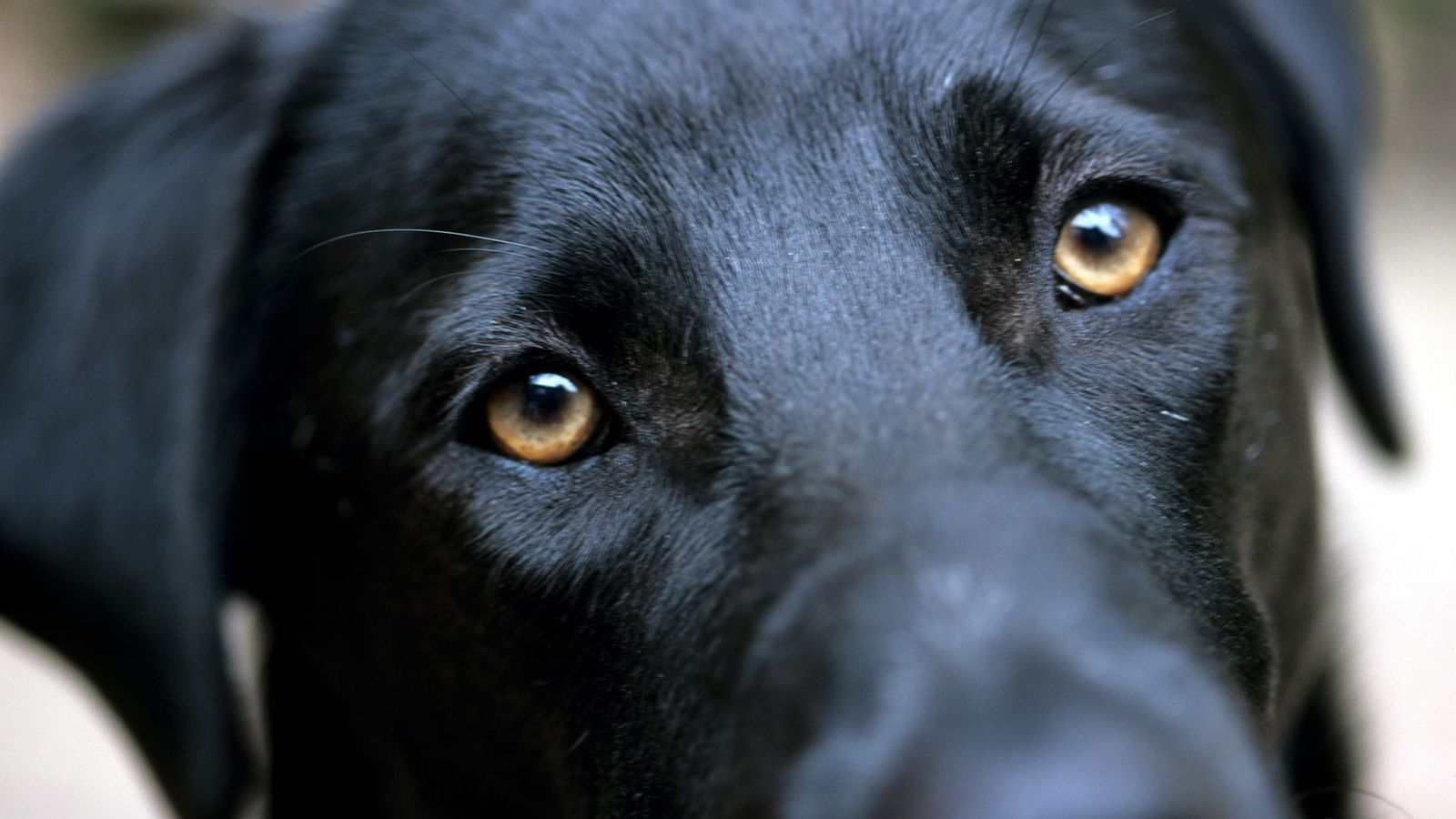 Ein schwarzer Labrador zieht die Augenbrauen hoch, als sich sein Blick und der des Fotografen treffen.