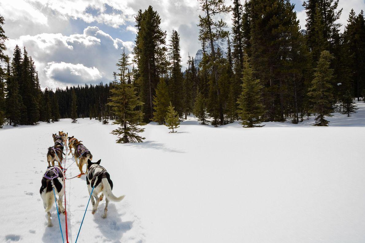 Hunde ziehen einen Schlitten durch den Banff Nationalpark in Alberta.
