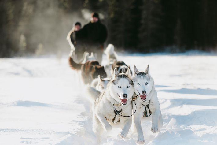 Hundeschlitten sind Kanadas ältestes Transportmittel für die Fortbewegung im Winter und ermöglichen es Besuchern, bis ins ...