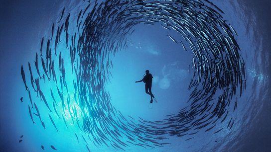 Ein Kreis aus Barrakudas schwirrt in der Milne-Bucht vor Papua-Neuguinea um Dinah Halstead herum. Barrakuda-Schwärme bilden ...