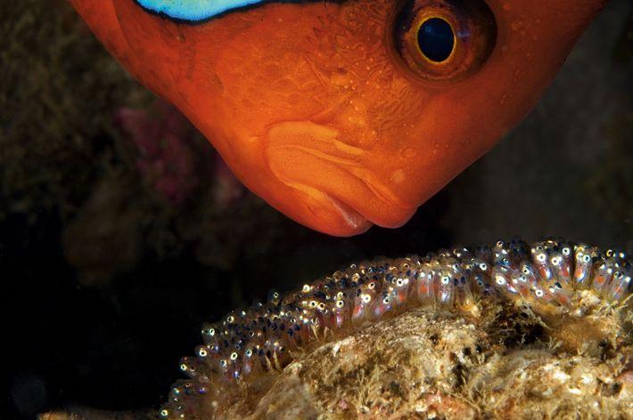 Ein männlicher Clownfisch bewacht sein Gelege vor Anilao auf den Philippinen. Er belüftet die Eier in ...