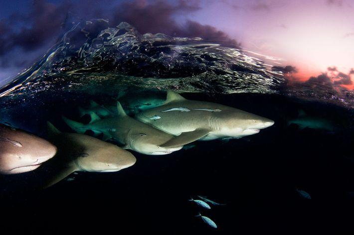 Eine gläserne Welle bricht über einer Gruppe von Zitronenhaien, die in der Abenddämmerung in den Bahamas ...