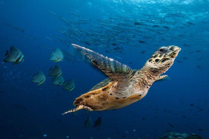 Eine Echte Karettschildkröte schwimmt durch ein Meer von Fledermausfischen und Barrakudas in Kimbe Bay, Papua-Neuguinea, nach ...