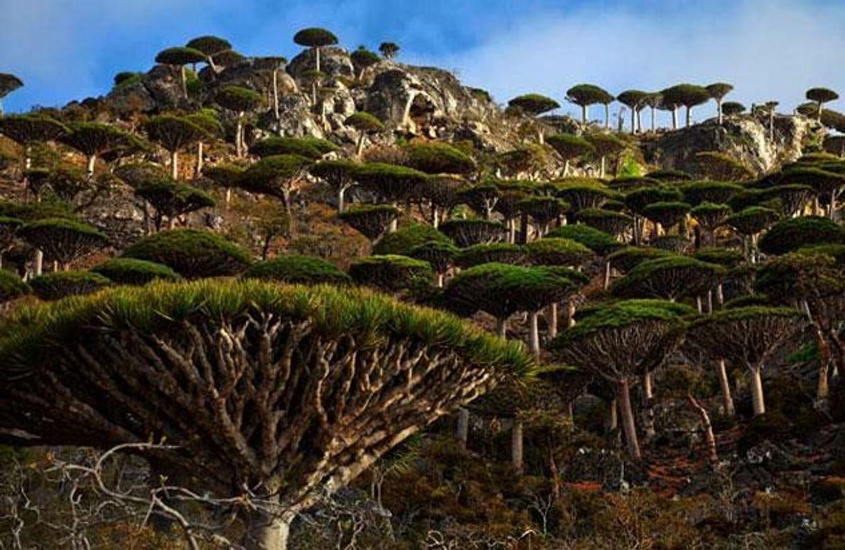 In den Drachenbaumwäldern gibt es kaum junge Bäume. Als Ursache sehen einige Wissenschaftler den Mangel an …