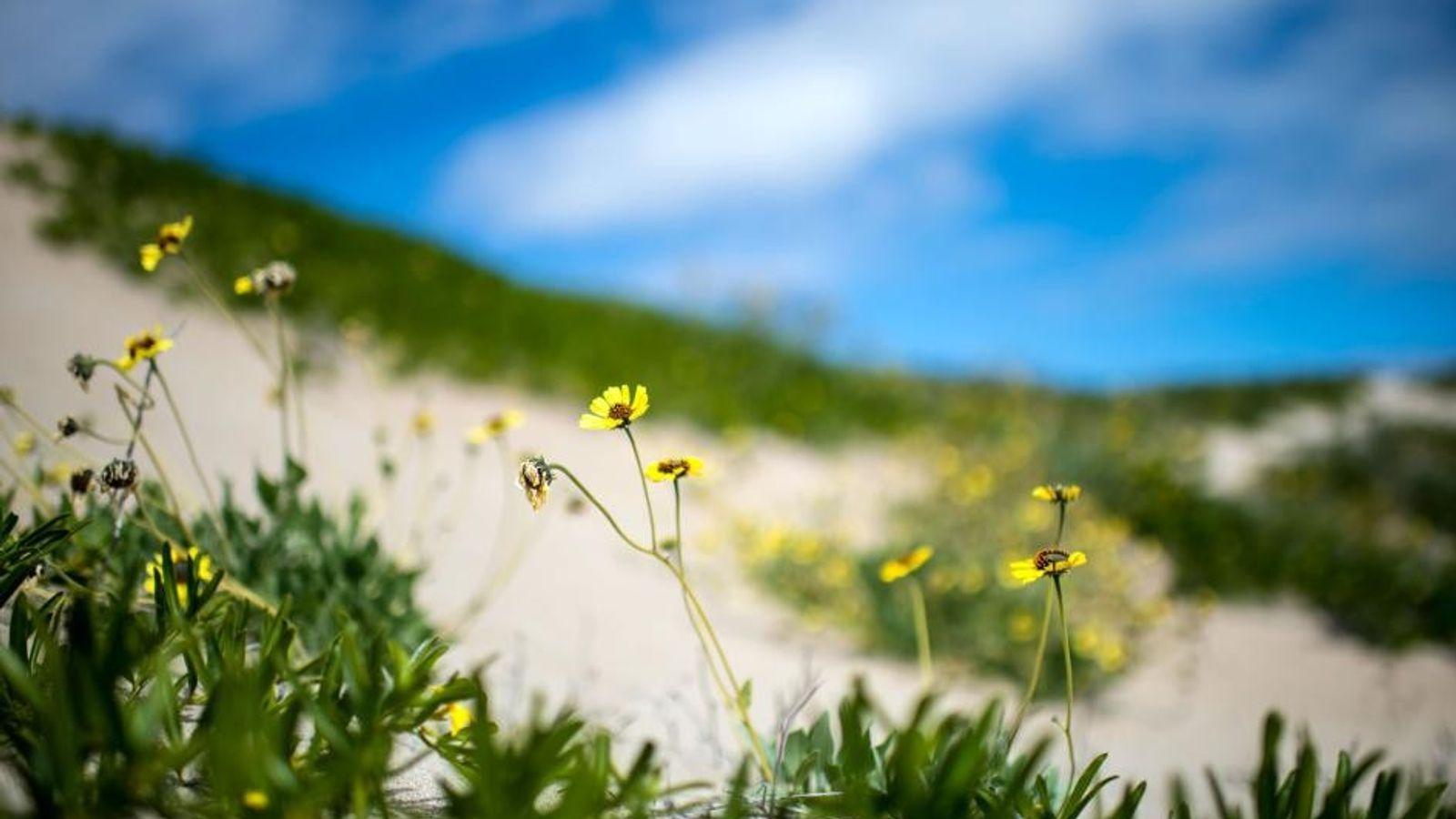 Im August 2017 blühen während einer seltenen Feuchtperiode Blumen in der chilenischen Atacama-Wüste.
