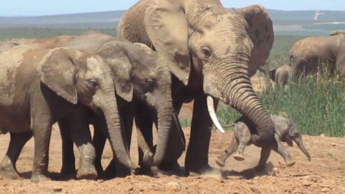 Männlicher Elefant attackiert Junges