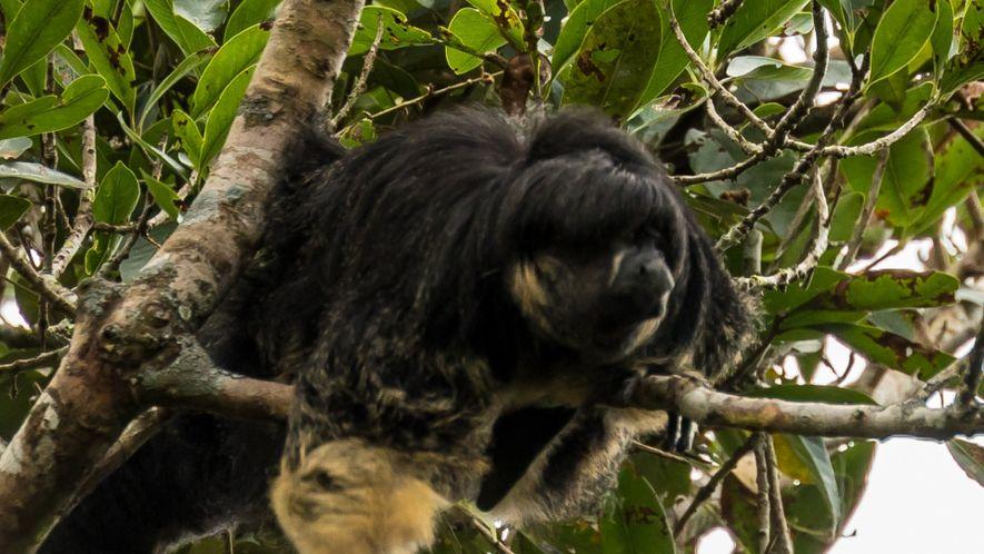 Erste Sichtung seit 80 Jahren: Scheuer Amazonas-Primat