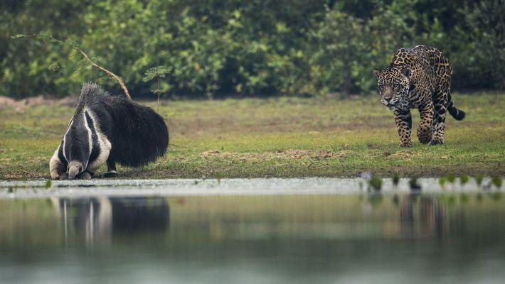 Begegnung zwischen Ameisenbär und Jaguar