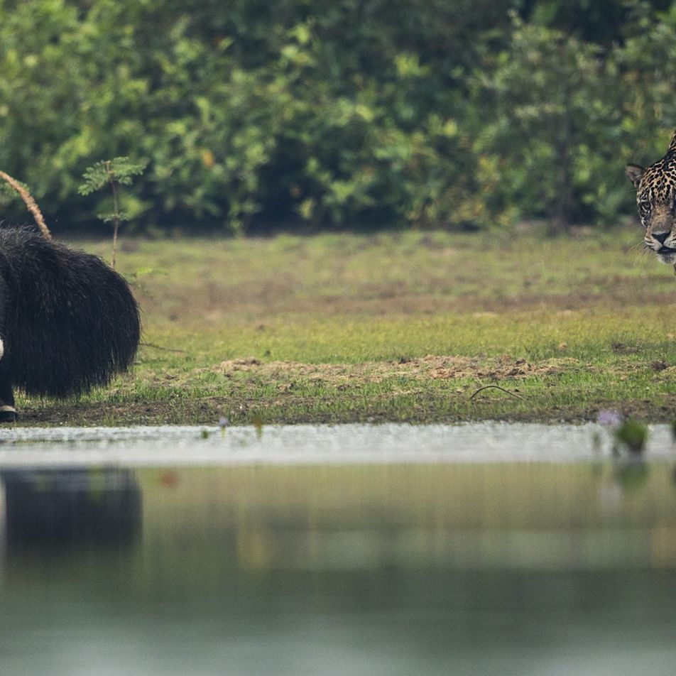 Großer Ameisenbär gegen Jaguar – wer gewinnt?