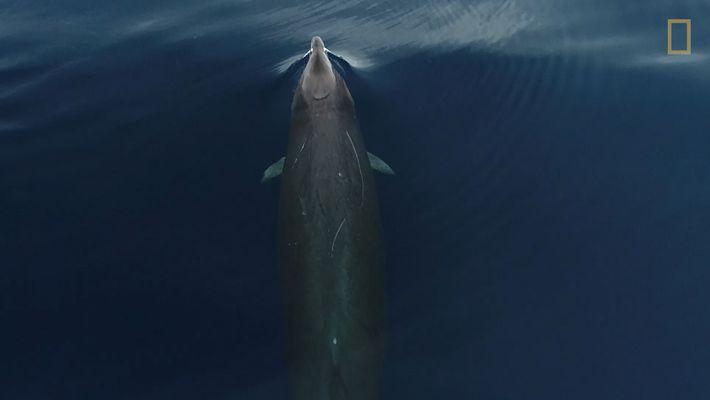 Seltene Gervais-Zweizahnwale von oben gefilmt.