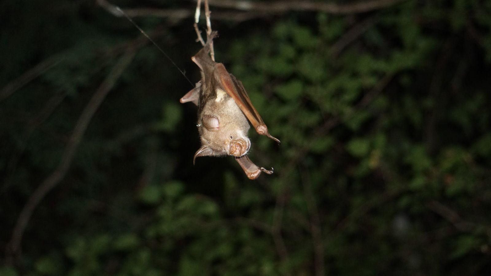 Tropische Fledermäuse verfallen bei Hitze in einen Hitzetorpor.