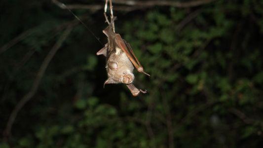 Riskante Überlebensstrategie: Hitzetorpor bei Fledermäusen