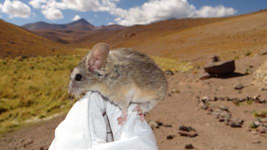 Leben in extremer Höhe: Diese Maus hält den Weltrekord