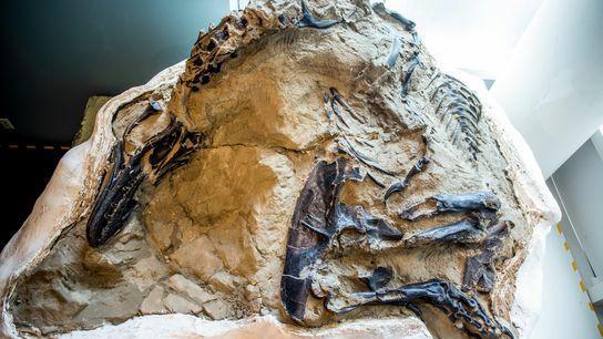 Tyrannosaurus & Triceratops Fossil