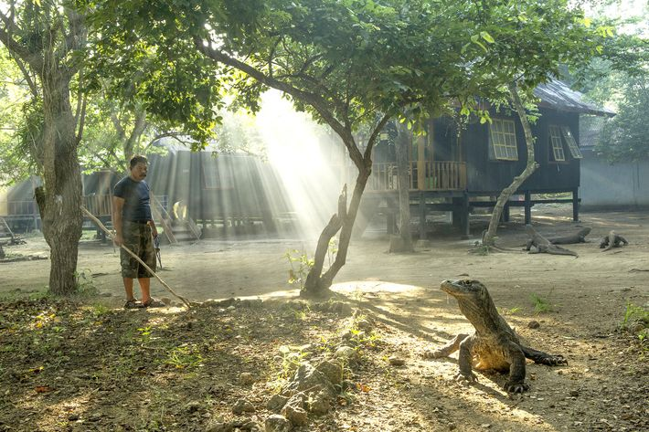 Ein Komodowaran sonnt sich im Komodo-Nationalpark. Die seltenen Reptilien sind wechselwarm, was bedeutet, dass ihr Energieniveau ...