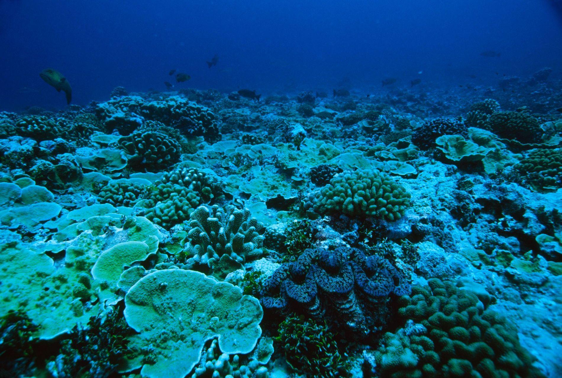 Korallen, Anemonen und Riesenmuscheln auf dem Meeresboden. Birnie Island, Phoenix Islands, Kiribati, Polynesien.