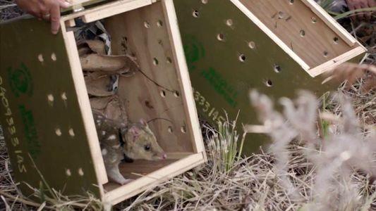 Klein und fleckig: Tüpfelbeutelmarder kehren auf australisches Festland zurück