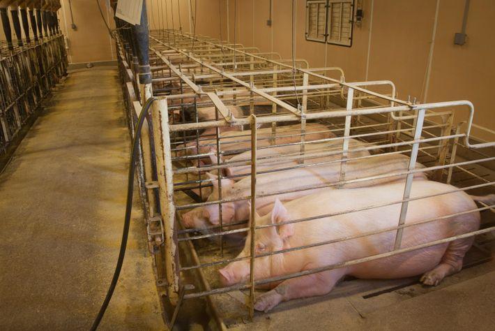 Trächtige Schweine liegen in einem Produktionsbetrieb in Iowa in Kastenständen.