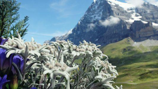 Galrie: Enzian, Edelweiß und Latschenkiefer: Alpenflora vergeht nicht?