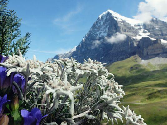 Enzian, Edelweiß und Latschenkiefer: Alpenflora vergeht nicht?