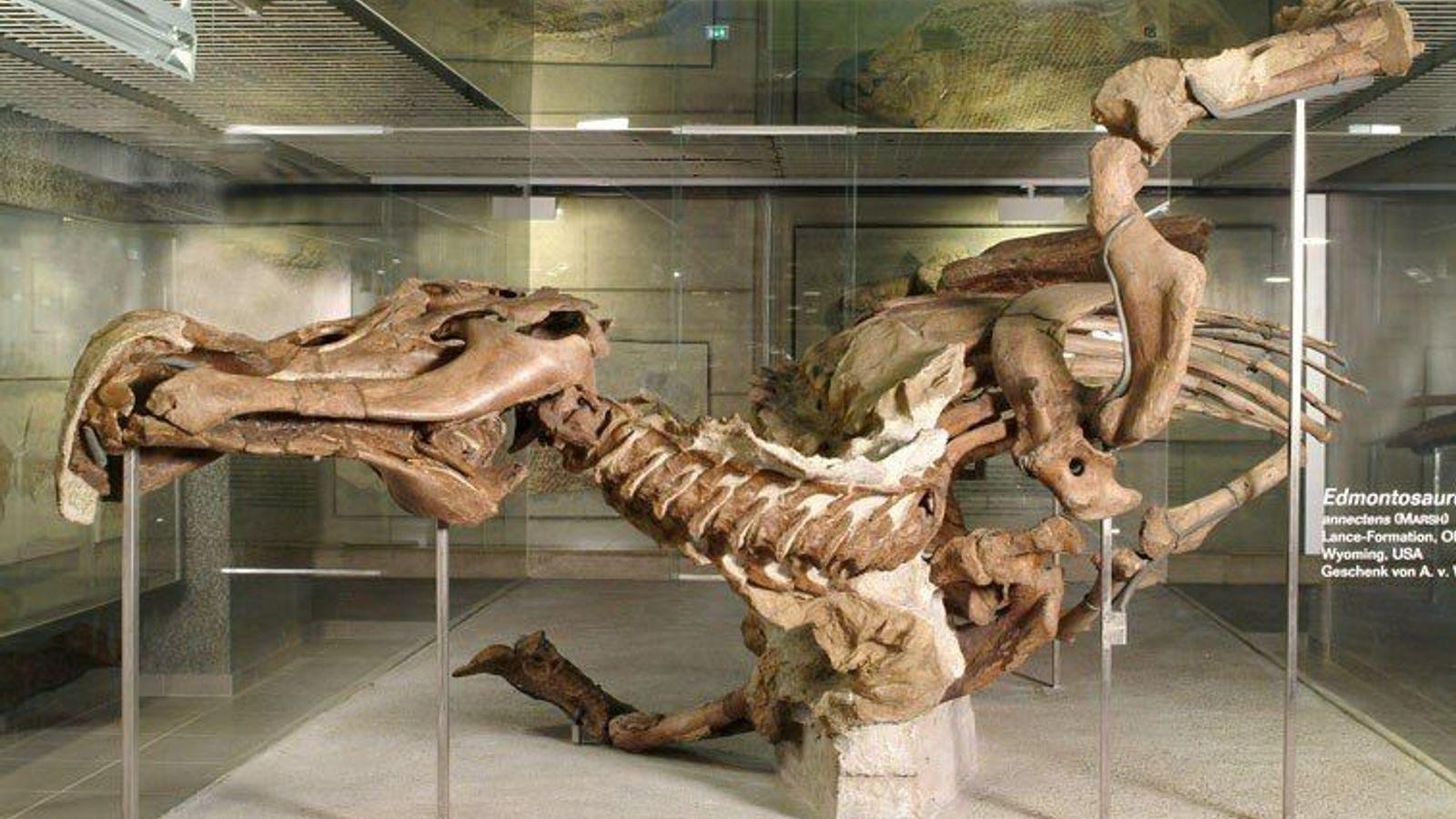 Die Edmontosaurus-Mumie im Senckenberg Naturmuseum in Frankfurt ist in zweierlei Hinsicht eine echte Seltenheit: Ihre Knochen ...