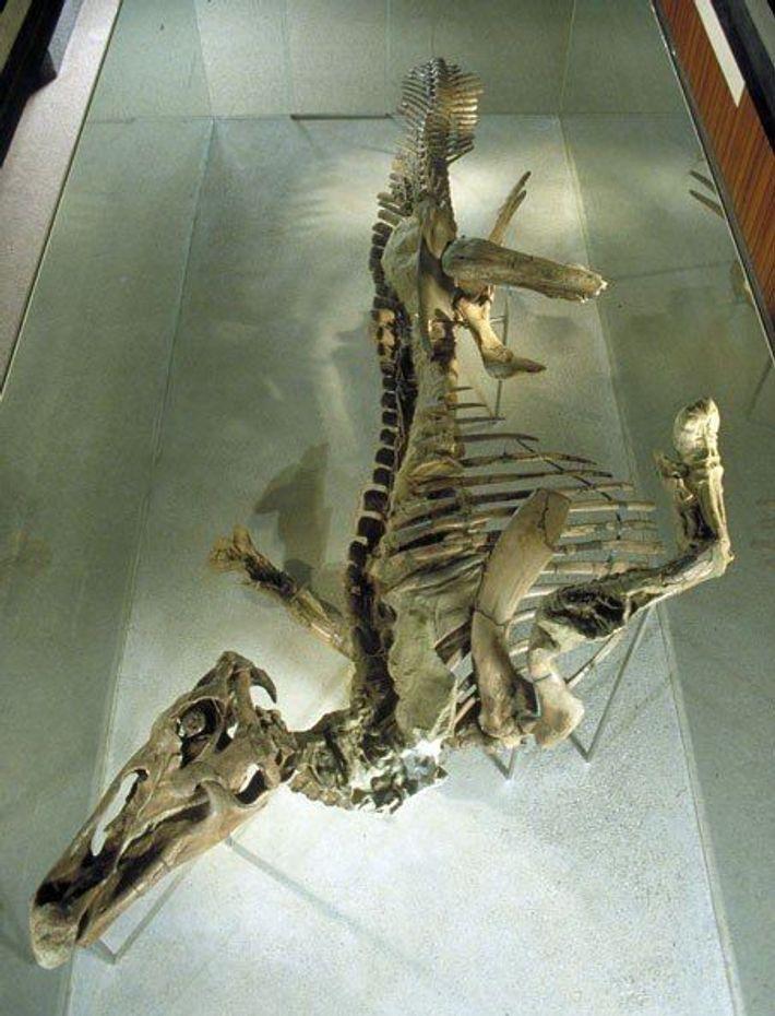 Sieben Meter lang und perfekt erhalten: Die 66 Millionen Jahre alte Edmontosaurus-Mumie wurde 1910 in Wyoming ...