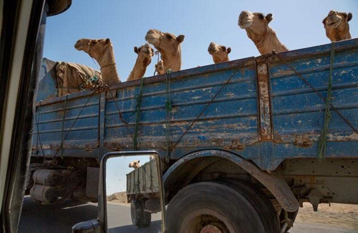 Ein Lastwagen voll Kamele