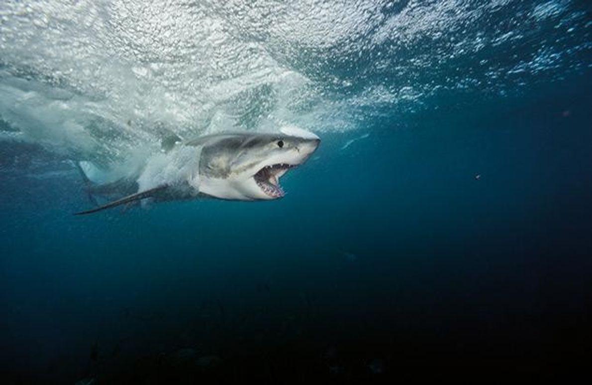 Weißer Hai vor den Neptune Islands