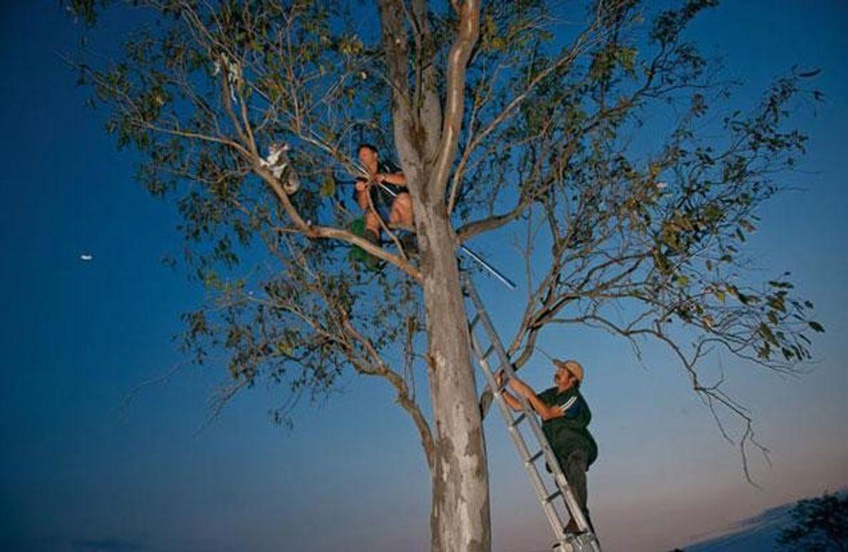 Einfangen eines Koalaweibchens