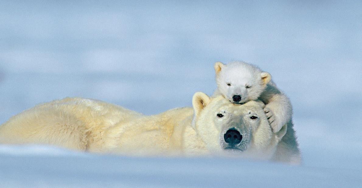 ARKTISCHES GEKUSCHEL Eisbärenmütter säugen ihren Nachwuchs bis zu drei Jahre lang.