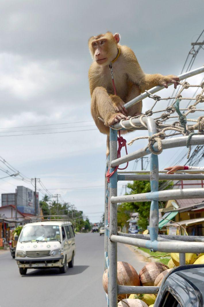 Affenarbeit in Thailand