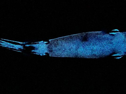 Tiefseefund: der leuchtende Schokoladenhai