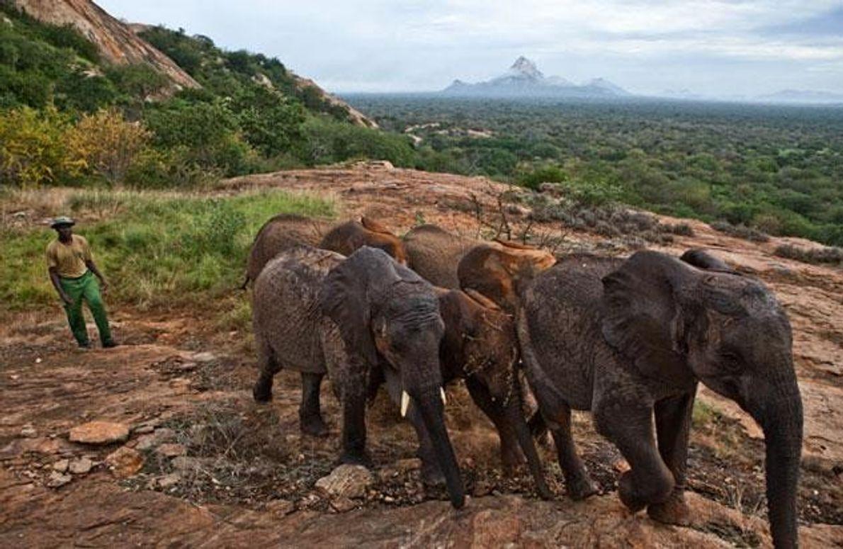 Diese in den Tsavo-Nationalpark ausgewilderten Elefanten kehren in eine Region zurück, in der vor Jahrzehnten Wilderer …
