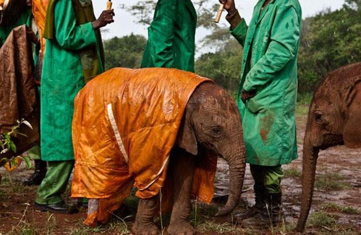 """Tierpfleger des David Sheldrick Wildlife Trust in Nairobi schützen die kleine """"Shukuru"""" mit einem eigens gefertigten …"""