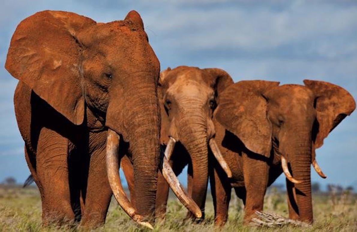 Elefantenbullen in Tsavo in Kenia