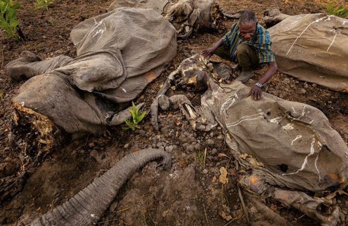 Elefantenkadaver in Kamerun