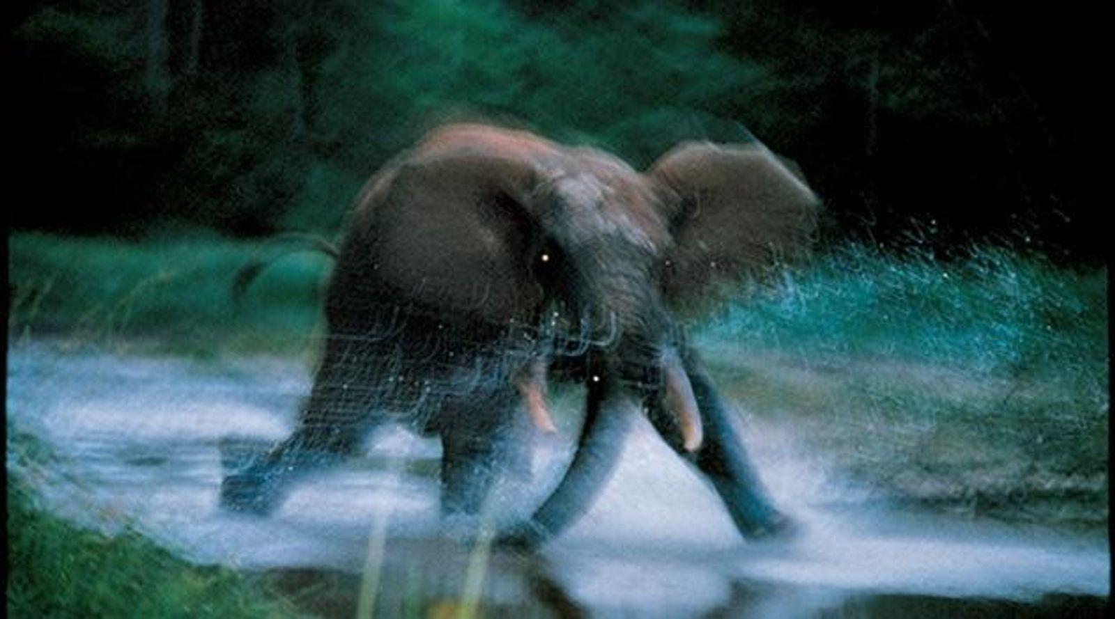 Der Fotograf Michael Nichols fotografierte in der Zentralafrikanischen Republik einen attackierenden Waldelefanten. Das Bild entstand 1993 ...