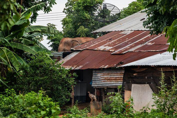 Die Elefanten in Ban Ta Klang leben mit den Menschen zusammen. Viele werden vor den Häusern ...